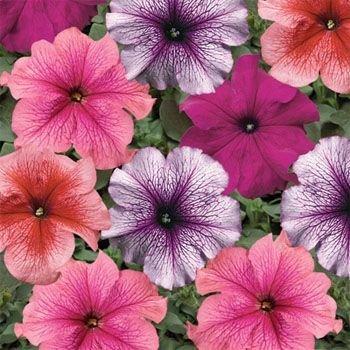 Outsidepride Petunia Multiflora Veined - 5000 Seeds by Outsidepride: Flower Seed B005REU0OU
