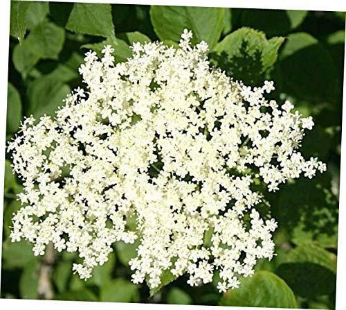 HAZ 1 Rooted Cutting - Live American Black Elderberry Sambucus Canadensis Plant - RK84