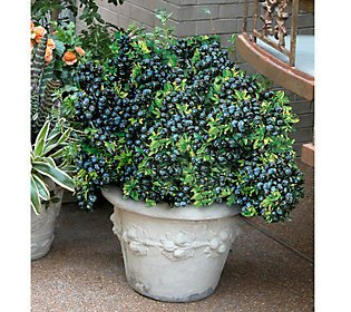 """Review Blueberry Plants """"Top Hat"""""""