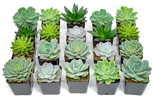 Succulent Plants | 20 Echeveria Succulents | Rooted in Planter Pots with Soil |Real Live Indoor Plants | Gifts or Room Decor by Plants for Pets by Plants for Pets (Image #6)