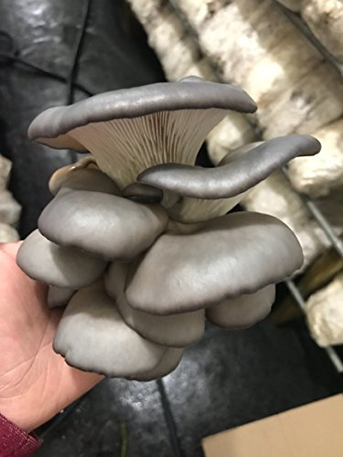 Grow Your Own Mushrooms Kit - Colonized Blue Grey Oyster Mushrooms - up to 4 lbs by Detroit Mushroom Company
