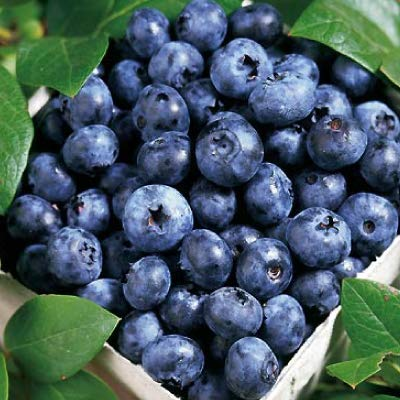 1 Starter Plant of Blueberry Plant Vaccinium Blue Ray High Bush Live Plant by Andryani (Image #3)