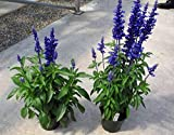 100 OXFORD BLUE SAGE Salvia Viridis Clary Painted Horminum Sage Herb Flower Seeds