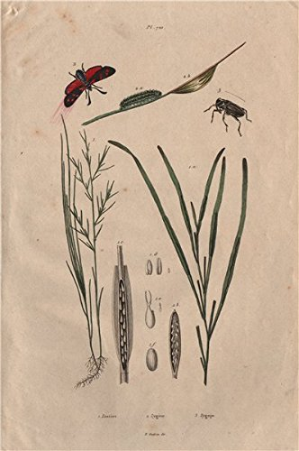 Zostera marina/eelgrass/seawrack. Zygaena/Six-spot Burnet. Zygopinae/Weevil - 1833 - old print - antique print - vintage print - Medicine art prints