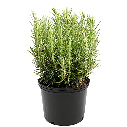 (AMERICAN PLANT EXCHANGE Upright Rosemary Indoor/Outdoor Air Purifier Live Plant, 6