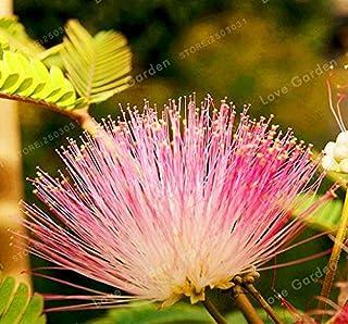 Pinkdose 20pcs Albizia Flower Bonsai, Mimosa Acacia Bonsai Beautiful Bonsai Tree Albizia Flower Bonsai per Piante in Vaso Home Garden: 1
