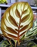 "Peacock Plant - Cathedral Windows - Calathea makoyana - Easy House Plant -4"" Pot"