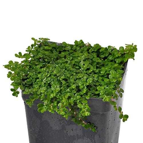 Miniature Fairy Garden Soleirolia soleirolii, Baby Tears, Green (Tears Baby Plant)