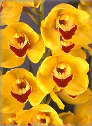 Orchid Insanity – KHAI GRAPES – striking yellow blooms, many flowers, vigorous hardy top-shelf Japanese breeding floriferous Cymbidium EASY TO GROW (NOT IN BLOOM WHEN SHIPPED)