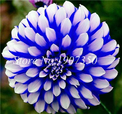 Virtue 50 Pcs Sac Bonsaa Dahlia Fleur Bonsaa Mixte