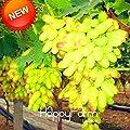 Grape Harvesters Grape Vineyards Loss Promotion!100 Pcs/Pack Rare Green Finger Grape Bonsai Fruit Seed Natural Growth Grape Gardening Fruit Plants,#3BQMEX