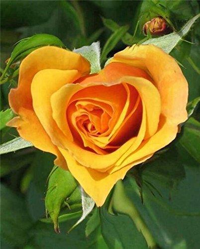 Rare deep yellow heart shaped rose flower plant 1 healthy live plant rare deep yellow heart shaped rose flower plant 1 healthy live plant grafted mightylinksfo