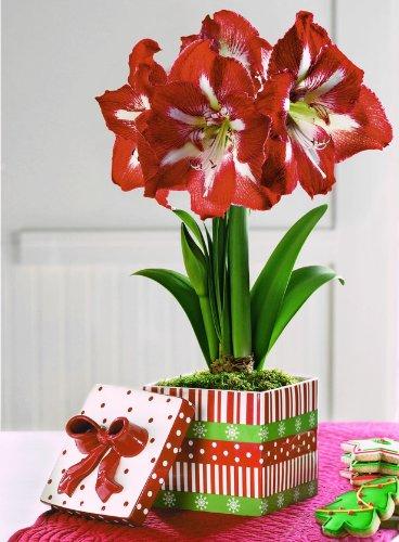 Amaryllis Red Star (Minerva) in Festive Cookie Box
