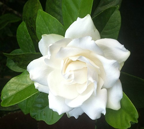 GARDENIA - AUGUST BEAUTY - CAPE JASMINE - WHITE - PLANTS - 2