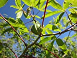 "6 Cuttings 6"" EACH Cassava Manihot esculenta Yuca Tree Plant"