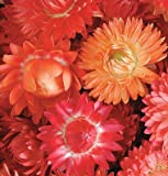 David's Garden Seeds Flower Strawflower Apricot/Peach Mix D1574 (Multi) 500 Open Pollinated Seeds