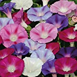 "HOT - Flower Seeds Bindweed""Morning-Glory Mix"" (Ipomoea Purpurea) Curling"
