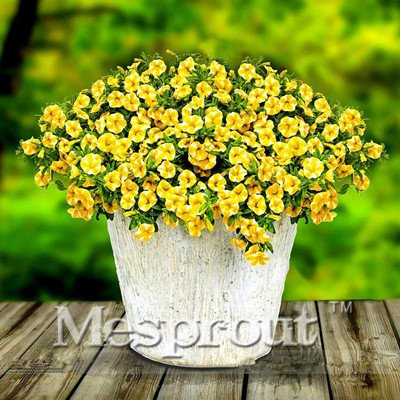 100 seeds Vary Colors Hanging Petunia Seed Sowing Summer and Autumn Seasons Easy to Plant Seeds #32704663277ST
