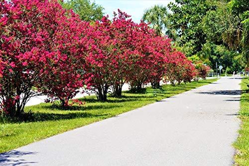 Dynamite red Crape Myrtle 5 Seeds - The Longest Blooming Tree/Intensive - Dynamites Seed