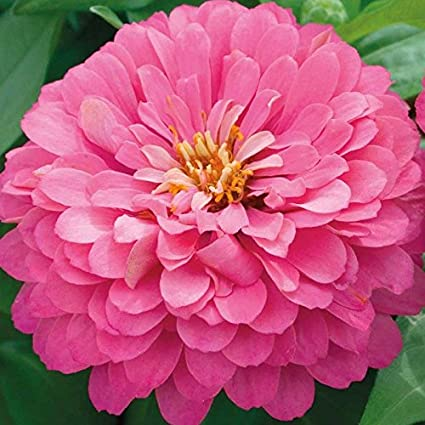 Amazon 100zinnialuminosa seed giant 4 5 bright pink 100zinniaquotluminosaquot seed giant 4quot 5quot bright pink flowers mightylinksfo