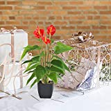 GTIDEA 17 inches Artificial Anthurium Potted