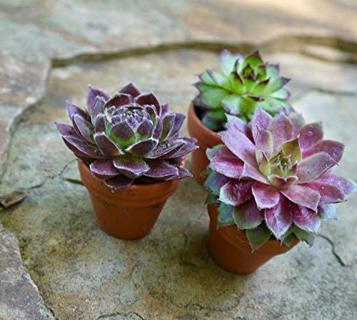 40 Plants of Mini Succulent Planted Pots by Coral LLC (Image #2)