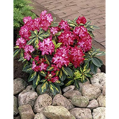 Rhododendron President Roosevelt - Container Size Plants - Flowering Shrub -Red and White Blooms with Variegated Foliage (8-12