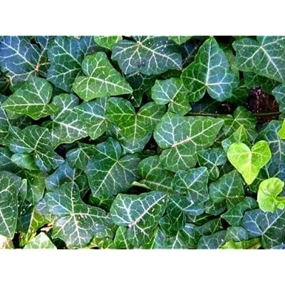 "AchmadAnam - Live Plant 48 English Ivy Hardy Groundcover Garden Sun or Shade -1 3/4"" Pots : Garden & Outdoor"