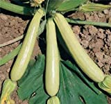 buy COURGETTE ZUCCHINI SUMMER SQUASH LONG WHITE LUNGO BIANCA 10 ORGANIC seeds now, new 2018-2017 bestseller, review and Photo, best price $9.99