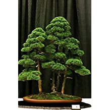 Hot sale 20 rare beautiful juniper bonsai tree potted flowers office bonsai purify the air absorb harmful gases