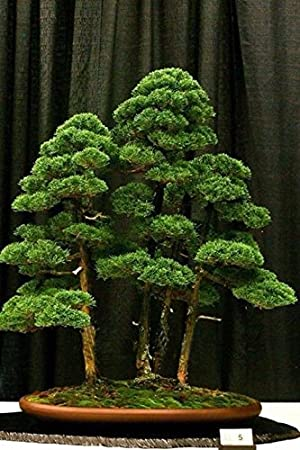 bonsai tree for office. Hot Sale 20 Rare Beautiful Juniper Bonsai Tree Potted Flowers Office Purify The Air Absorb For N