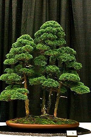 office bonsai. hot sale 20 rare beautiful juniper bonsai tree potted flowers office purify the air absorb q