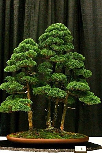 Hot sale 20 rare beautiful juniper bonsai tree potted flowers office bonsai purify the air absorb harmful gases SVI