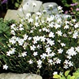 Outsidepride Dianthus Maiden Pink White - 5000 Seeds