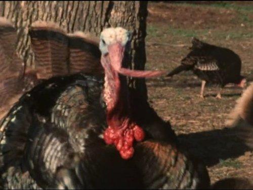 Wild Turkey - Part 1