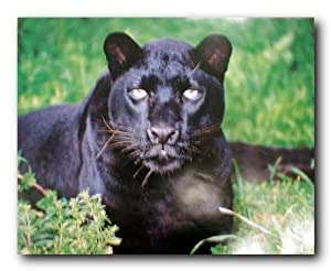 Amazon.com: Black Leopard (Panther) Animal Wildlife Wall ...