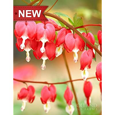 Valentine Red Bleeding Heart : Garden & Outdoor