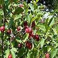 Paradise Apple Fruit Tree 25 Seeds (Malus pumila)