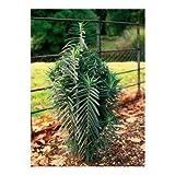 Mole Plant 30 Seeds - REPELS MOLES - Euphorbia