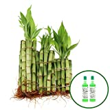 NW Wholesaler - 4'', 6'' & 8'' Straight Live Lucky Bamboo Bundle of 30 Stalks with 2 Free Bottles of Lucky Bamboo Fertilizer