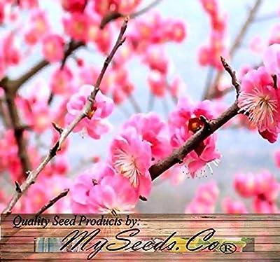 (5) Japanese Flowering Apricot Plum Tree Seeds - Prunus Triloba