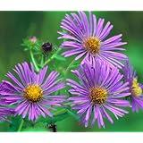 Aster New England Symphyotrichum Novae-Angliae - 1,000 Bulk Seeds