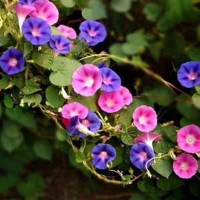 Amazon com : Free shipping seasons climbing big morning glory seeds