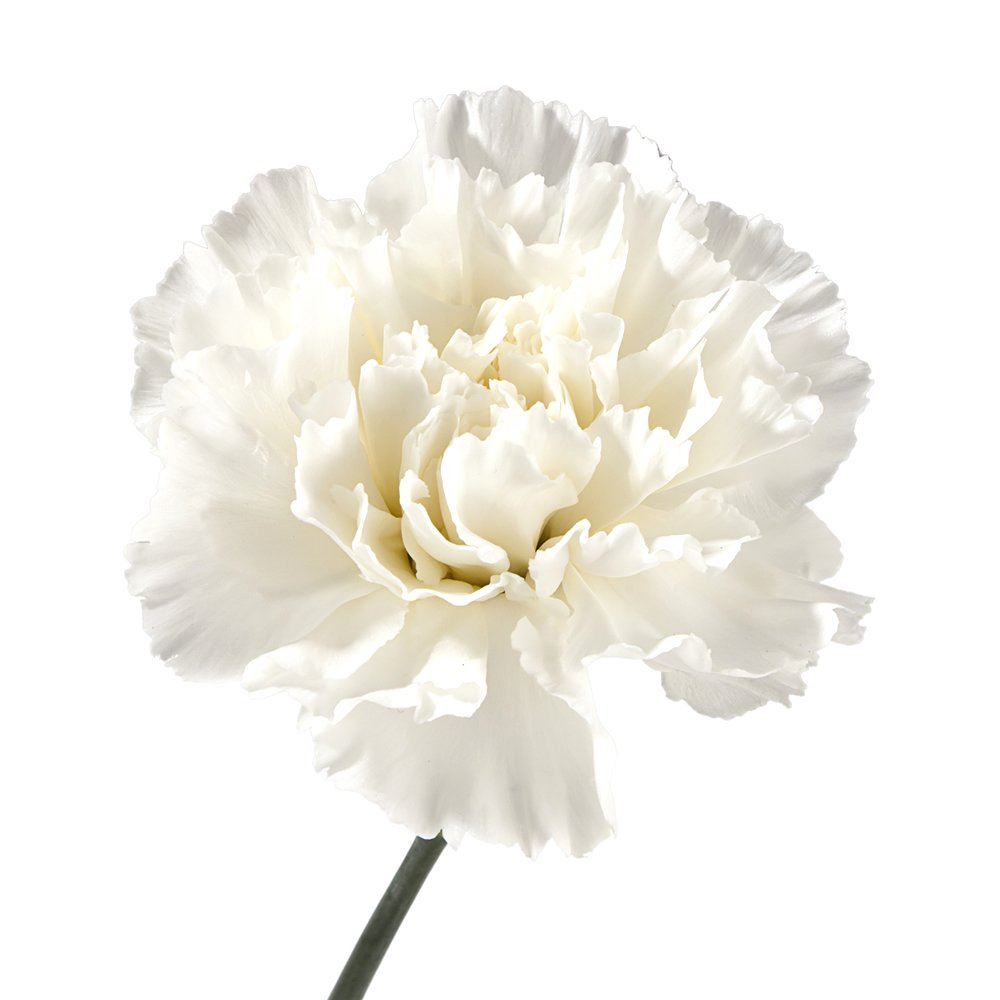 amazon com wholesale carnations 300 white fresh cut format