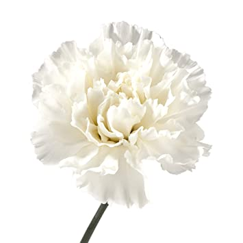 Wholesale Carnations 300 White