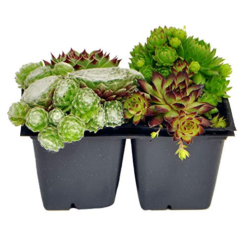 Hen and Chicks Collection, Sempervivum, Hen and Chicks (And Plants Chicks Hens)