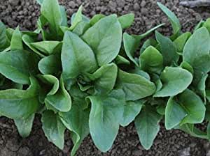 5000 Amish Deer Tongue lettuce seeds New seeds for 2017 Non-Gmo, Heirloom