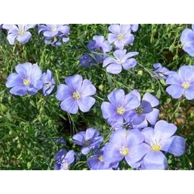 Lumos80 Blue Flax 100 Fresh Seeds : Garden & Outdoor