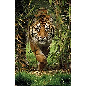 Pyramid America Bambo Tiger Photo Art Print Poster 24x36 inch
