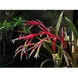 Unusual Queen's Tears Bromeliad Starter Plant